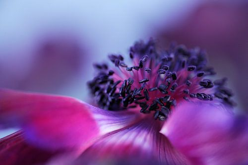 Paarse anemoon van