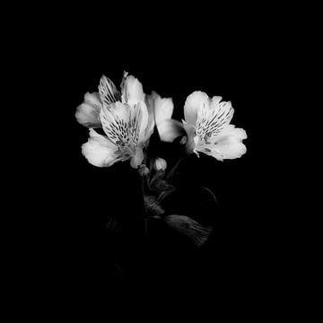 Lilie von Peter Baak