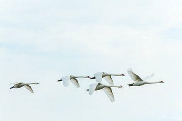 Zwanen in een majestueuze vlucht op de Brabantse Biesbosch van Gerry van Roosmalen