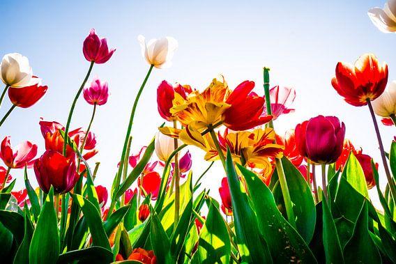 Tulpen van Michiel van Druten