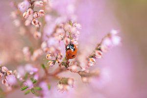 Lieveheersbeestje in de bloeiende heide