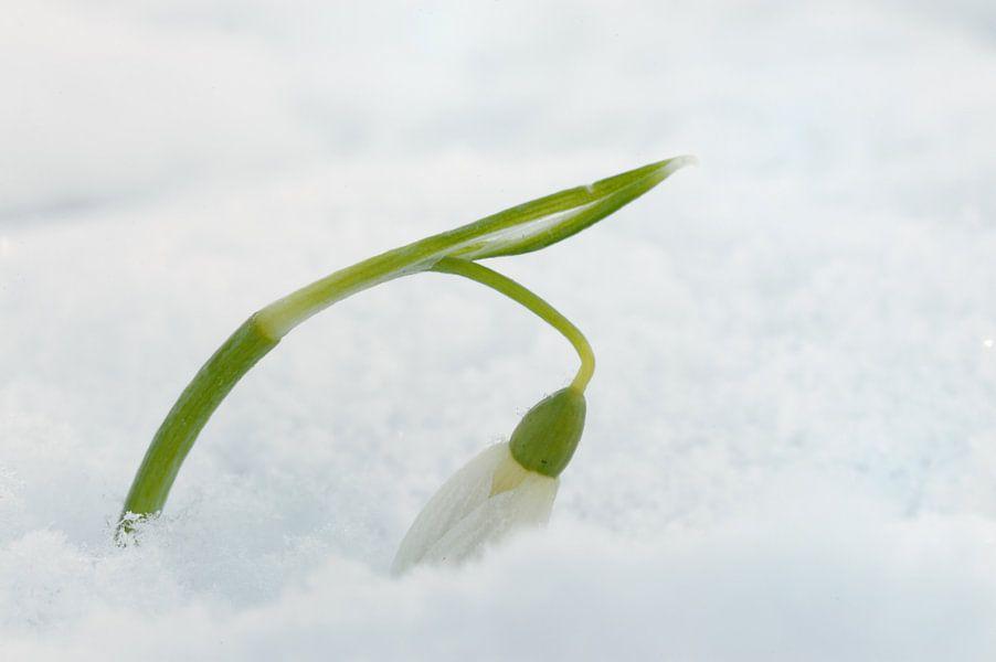 Sneeuwklokje in de sneeuw van Gonnie van de Schans