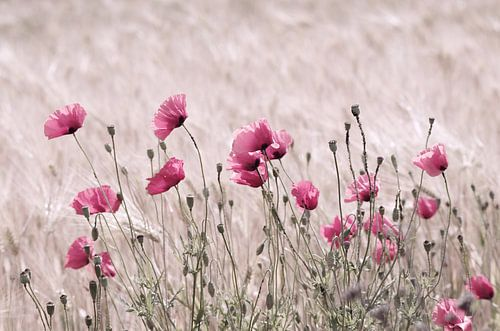 Rosa Pastelle Mohnblumen Impression von