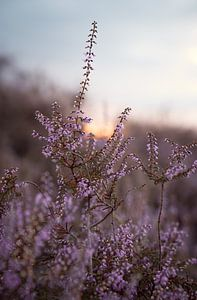 Blühendes lila Heidekraut mit Sonnenuntergang