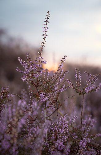 Bloeiende paarse heide met zonsondergang
