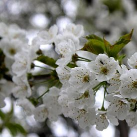Witte bloesem van Rob Hendriks