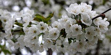 Witte bloesem von Rob Hendriks