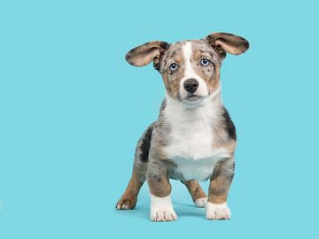 Welsh corgi puppy tegen een blauwe achtergrond / Cute blue merle welsh corgi puppy with blue eyes st van