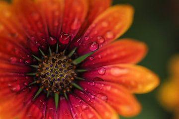 Spaanse margriet met regendruppels van Isabel van Veen