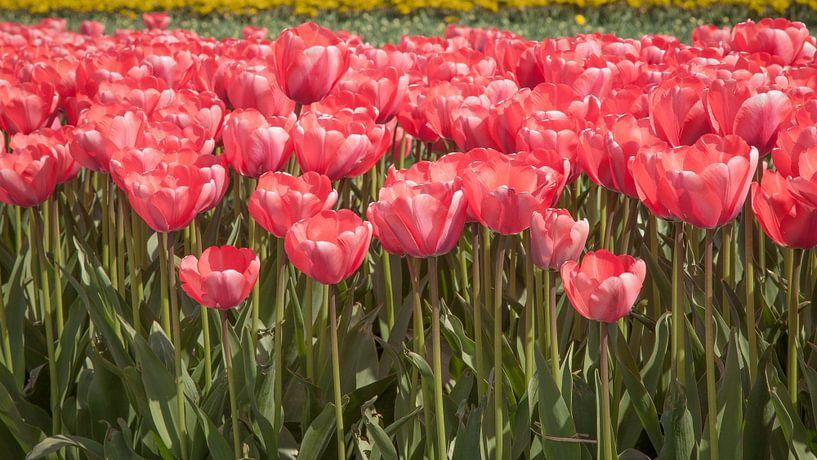 Veel rode tulpen van Tim Abeln