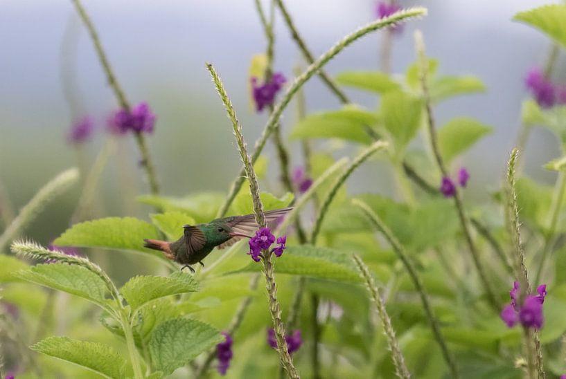 Kolibrie van Eddie Meijer
