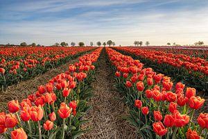 Champ de tulipes rouges