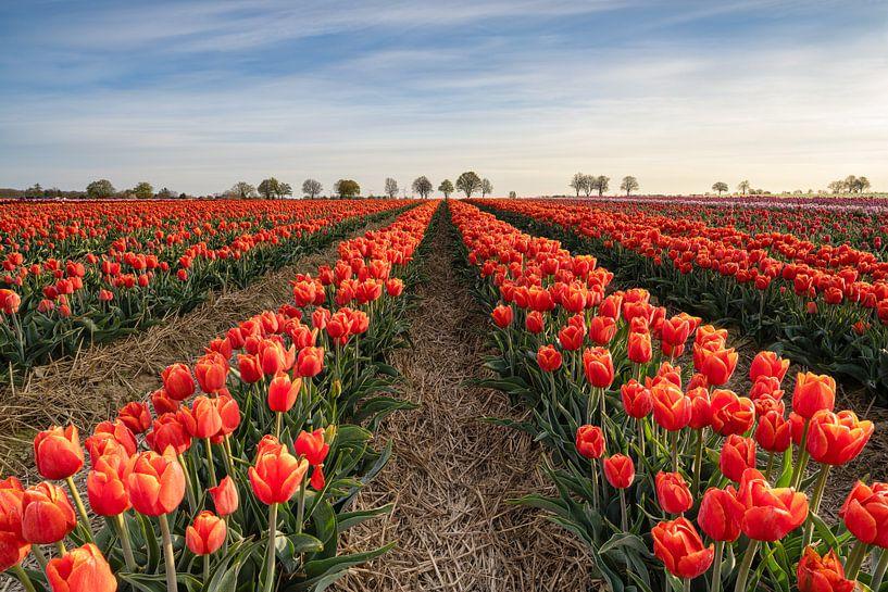 Champ de tulipes rouges sur Michael Valjak