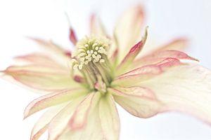 Macro foto van een mooie bloem van Miranda van Hulst