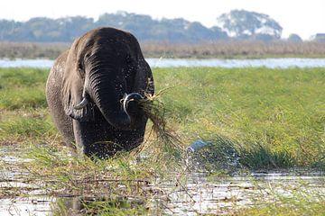 Olifant wast z'n eten in de Okavango Delta van Remco Phillipson
