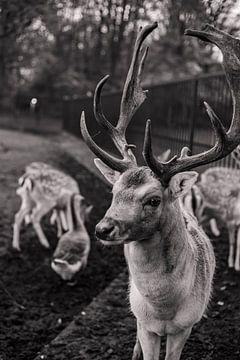 Herten met Karakter - nr. 5 Stoer (zwart-wit) van Deborah de Meijer