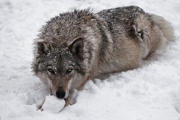 Portrait d'une louve sur Michael Semenov