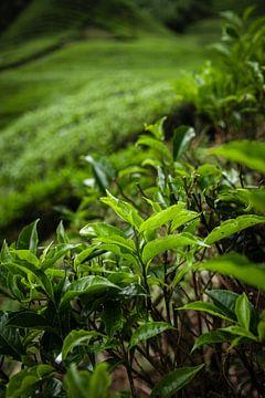 Teeplantage Malaysia von Alexander Wasem