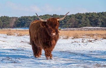 Schottischer Highlander im Schnee auf der Heide von Compuinfoto .