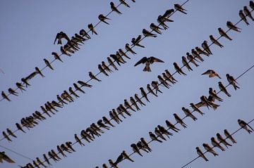 Swallow gathering van Elias Vercruysse