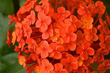Fleurs rouges sur Daniek Vermeer