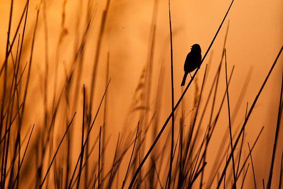 Zingende rietgors in het riet bij zonsondergang