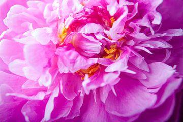 Bloeiende roze pioenroos van Marcel Bakker