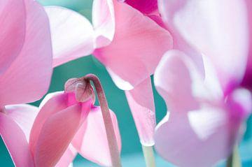 Roze Bloemen - Cyclamen, Turqoise van Nicole Schyns