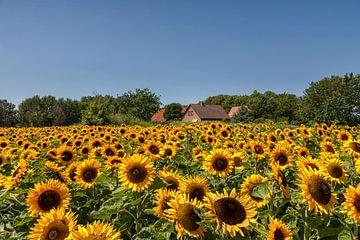 Zonnebloemen sur Bram van Broekhoven