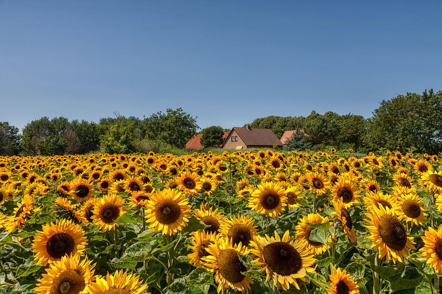 Zonnebloemen van Bram van Broekhoven