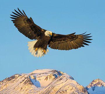 Weißkopfseeadler über den Bergen von Harry Eggens