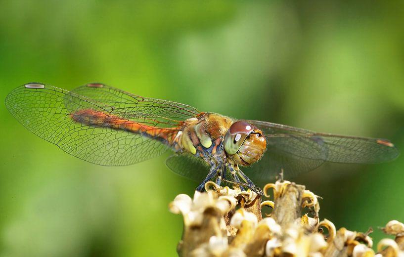 Dragonfly van Frank Herrmann