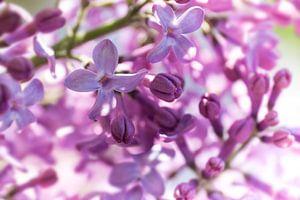 Close-up van paars lila gekleurde, geurende lentebloemen van de sering van Henk Vrieselaar