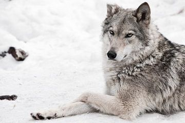 Eine Wolfsfrau lügt. von Michael Semenov