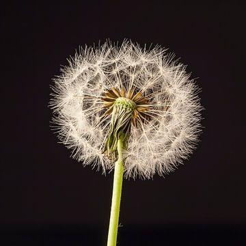 Fluff dandelion sur Ramona Stravers