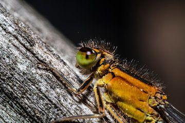 Nahaufnahme einer Libelle. von GiPanini