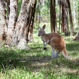 Een westelijke grijze kangoeroe met joey die uit de buidel kijkt, Macropus fuliginosus van Tjeerd Kruse
