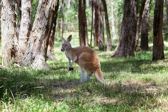 Een westelijke grijze kangoeroe met joey die uit de buidel kijkt, Macropus fuliginosus