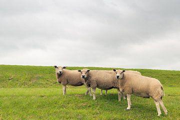 Drei neugierige Schafe am Fuße eines Deiches von Ruud Morijn
