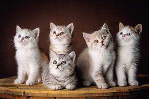 Cinq chatons British Shorthair très mignons regardent autour d'eux sur Jan de Wild