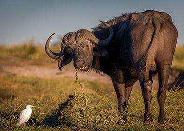 Afrikanischer Büffel von Ed Dorrestein