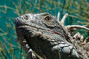 Dominikanischer Leguan von Maikel van Willegen Photography