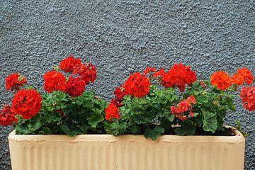 Bak met vuurrode geraniums voor een grijze, grof gestucte muur. von Gert van Santen