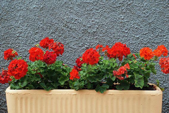 Bak met vuurrode geraniums voor een grijze, grof gestucte muur.