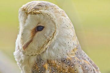 Owl, calm van Harry van den Brink