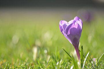 De lente op komst met bloeiende krokus van Klaas Dozeman
