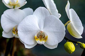 Bijna perfecte bloei van Harald Schottner