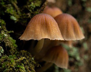 Mushroom quatro van Thom de Steenhuijsen Piters