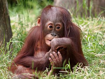 Bébé orang-outan sur
