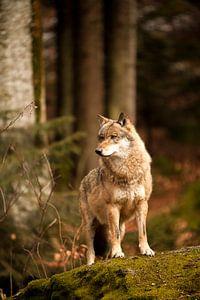 Wolf von Babs Boelens